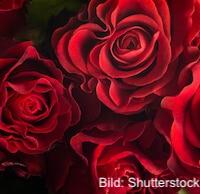 Nicht geht über Rosen zum Valentinstag