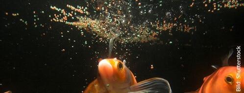 Fische haben kein Sättigungsgefühl - sie können unbegrenzt fressen